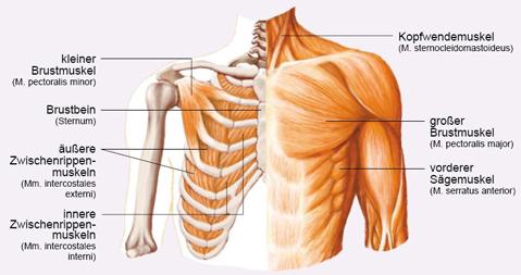 Muskelaufbau: Brustübungen